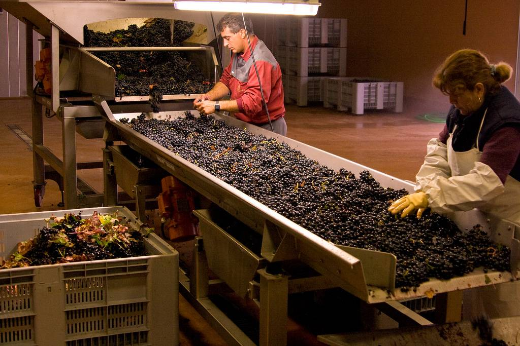 Harvesting the vintage in the Rioja region.